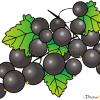 How to Draw Blackcurrant, Fruits