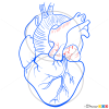 Human Heart Drawing, Step by Step Drawing Lessons