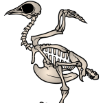 How to Draw Bird Skeleton, Skeletons