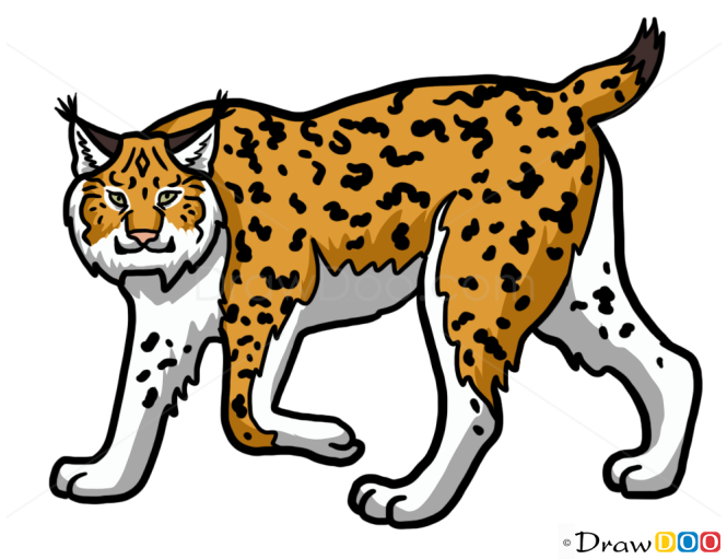 How to Draw Lynx, Wild Animals