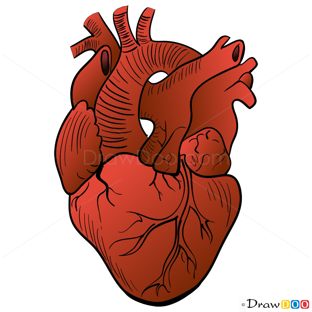 Heart Drawings: Human Heart Drawing, Step By Step Drawing Lessons